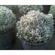 Bloemen Santolina chamaecyparissus - Heiligenbloem