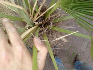 Speerrot bij palmbomen