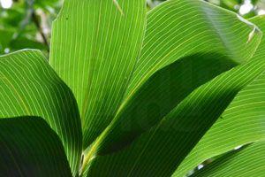Snoeien van bamboeplanten