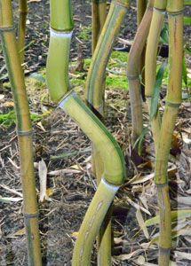Onderhoud bamboeplanten