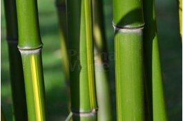 Verzorging en onderhoud bamboe