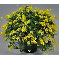 Bloemen-flowers Cytisus maderensis