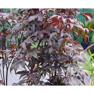 Bomen-trees Acer palmatum Bloodgood - Japanse esdoorn