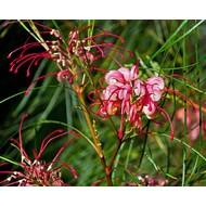 Bloemen Grevillea johnsonii - Australische zilvereik