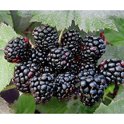 Eetbare tuin / edible garden Rubus fruticosus Black Satin - Braambes
