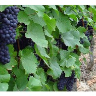 Eetbare tuin-edible garden Vitis vinifera Boskoop Glory - Grape