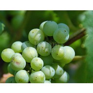 Eetbare tuin-edible garden Vitis vinifera Early van der Laan - Grape