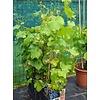 Eetbare tuin / edible garden Vitis vinifera Boskoop Glory - Druif