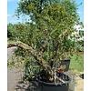 Eetbare Tuin Punica granatum - Granaatappel