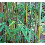 Bamboe-bamboo Fargesia jiuzhaigou 9