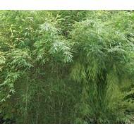 Bamboe-bamboo Fargesia murieliae Standing Stone