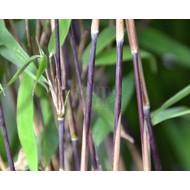 Bamboe-bamboo Fargesia nitida Black Pearl