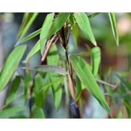 Bamboe-bamboo Fargesia nitida Volcano
