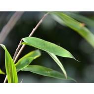 Bamboe-bamboo Fargesia nitida Winterjoy