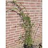 Bamboe / bamboo Fargesia nitida Winterjoy