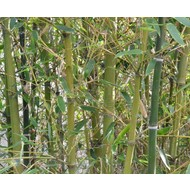 Bamboe Phyllostachys parvifolia