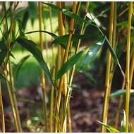 Bamboe-bamboo Semiarundinaria yashadake Kimmei