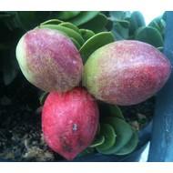 Eetbare Tuin Carissa grandiflora - Natalpruim