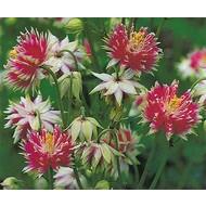 Bloemen Aquilegia vulgaris Nora Barlow - Akelei