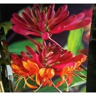 Bloemen / flowers Lonicera heckrotti Goldflame - Kamperfoelie