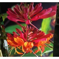 Bloemen-flowers Lonicera heckrotti Goldflame