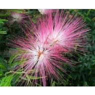 Bloemen Calliandra Dixi Pink - Surinaamse poederdons