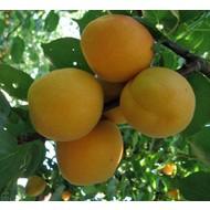 Eetbare Tuin Prunus armeniaca Tros Oranje - Abrikoosboom