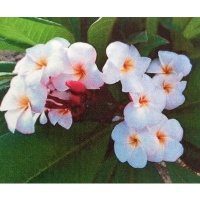 Bloemen-flowers Plumeria rubra JJ Miniwhite - Frangipani - Tempelboom