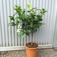 Eetbare Tuin Citrus latifolia Lime Verde - Limoen