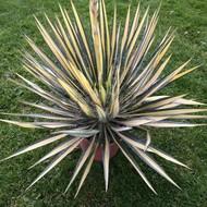 Woestijn Yucca filamentosa Color Guard