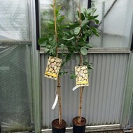 Bomen-trees Pistacia vera - Pistachio tree