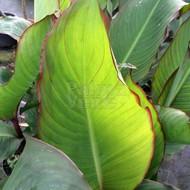 Bloemen Canna musafolia - Banana canna