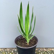Woestijn-desert Dracaena draco - Dragon blood tree