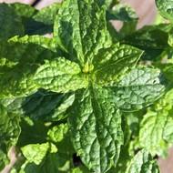 Eetbare Tuin Mentha spicata - Groene munt - Aarmunt