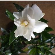 Bloemen Gardenia jasminoides Kleim's Hardy - Gardenia parfum