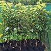 Eetbare tuin-edible garden Pyrus pyrifolia Nashi - Nashi peer