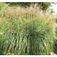 Siergrassen-ornamental grasses Miscanthus sinensis Sirene - Prachtriet - Japans sierriet
