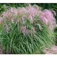 Siergrassen-ornamental grasses Miscanthus sinensis Flamingo - Prachtriet - Japans sierriet