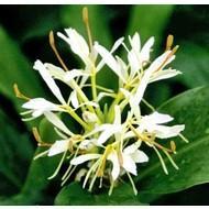Bloemen Hedychium forrestii - Gember