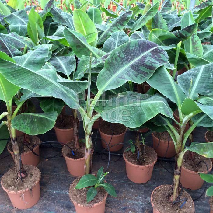 musa dwarf potplanten buiten schaduw. Black Bedroom Furniture Sets. Home Design Ideas