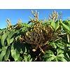Blad-leaf Tetrapanax papyrifera Steroidal Giant - Rijstpapierplant - Rijstpapierboom