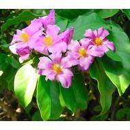 Bloemen-flowers Pereskia grandiflora