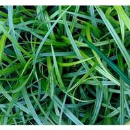 Siergrassen Carex morrowii - Japanse zegge
