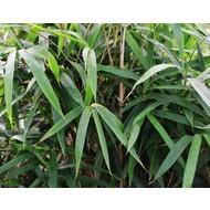 Bamboe-bamboo Pseudosasa japonica Tsutsumiana