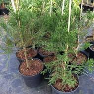 Bomen-trees Sequoiadendron giganteum