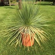 Woestijn Yucca rostrata