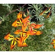 Bloemen-flowers Lotus berthelotii - Canarische rolklaver