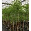 Eetbare Tuin Ziziphus jujuba - Chinese dadelboom
