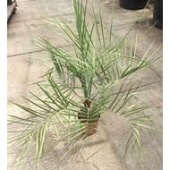 Palmbomen Butia capitata - Geleipalm - Pindopalm