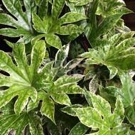 Blad-leaf Fatsia japonica Spiders Web - Japanese finger plant